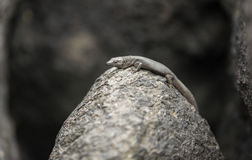 Rock lizard  Stock Photos