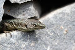 Rock Lizard looking out royalty free stock image