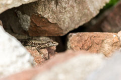 Rock Lizard Stock Images