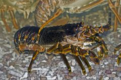 Rock lobster. West Coast Rock lobster, Jasus lalandii Stock Photos