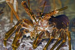 Rock lobster Royalty Free Stock Photo