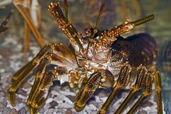 Rock lobster. West Coast Rock lobster, Jasus lalandii Royalty Free Stock Photo
