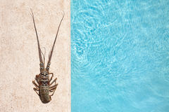 Rock lobster sea background. A single rock lobster on a blue sea water background Royalty Free Stock Images