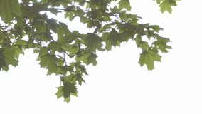 Rock maple branches slow motion video. Swaying in the wind branch maple with leaves slow motion video stock footage