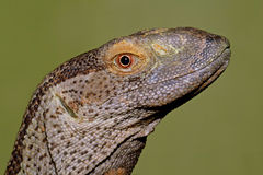 Rock monitor Royalty Free Stock Photos