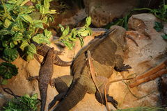 Rock monitor and giant plated lizard Royalty Free Stock Image