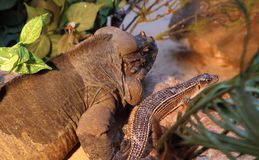 Rock monitor and giant plated lizard. In a terrarium Royalty Free Stock Photos