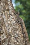Rock monitor in Kruger National park, South Africa stock image