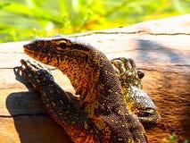 Rock monitor lizard basking on tree stump. Location Kuneneriver, northern Namibia stock photo