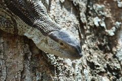 Rock monitor lizard Royalty Free Stock Image