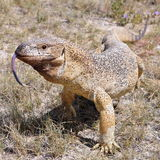 Rock monitor Stock Photography