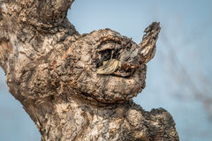 Rock monitor in a tree. Royalty Free Stock Images