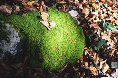 Rock With Moss Surrounded With Dried Leaves Stock Photography