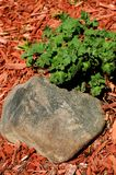 Rock And Mum Plant. Rock in a garden with a mum flower plant and red mulch Stock Image