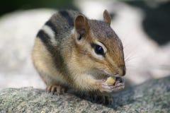 Rock n chipmunk Stock Image