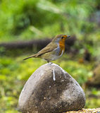 Rock N Robin Royalty Free Stock Images