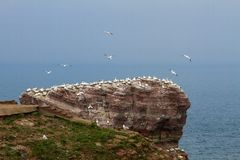 Rock at the north sea with many birds Royalty Free Stock Images