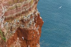 Rock at the north sea with many birds horizontal Stock Image