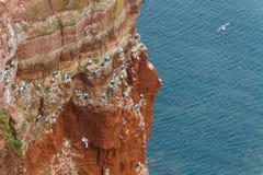 Rock at the north sea with many birds horizontal Stock Image
