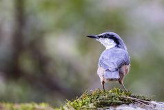 Rock Nuthatch Back View Royalty Free Stock Images