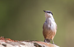Rock Nuthatch Royalty Free Stock Images