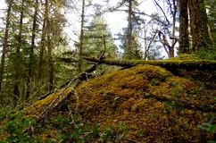 A rock outcrop in the forest is covered with golden feather moss Stock Image