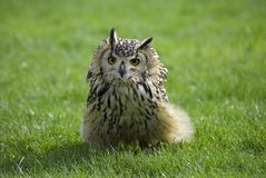 Rock owl Stock Photography