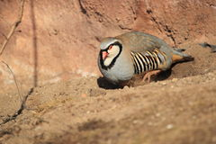 Rock partridge Royalty Free Stock Images