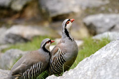 Rock partridge,  alectoris graeca Royalty Free Stock Photography
