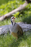 Rock partridge,  alectoris graeca Royalty Free Stock Image