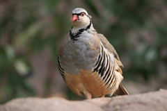 Rock partridge Stock Images
