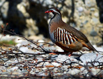 Rock patridge; greek partridge Royalty Free Stock Photos