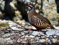 Rock patridge; greek partridge. Rock partridge, Greek partridge; Austria alps Royalty Free Stock Photos