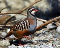 Rock patridge; greek partridge. Rock partridge, Greek partridge; Austria alps Stock Photo