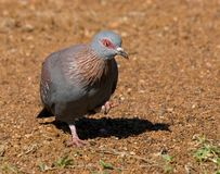 Rock pidgeon Stock Image