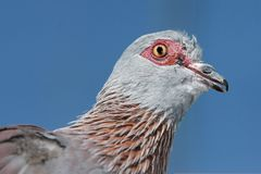 Rock Pidgeon Portrait. Close up of a rock pidgeon bird against blue sky stock photo