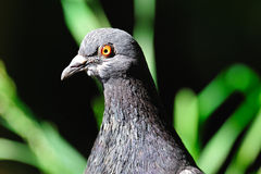 Rock Pigeon Stock Photos