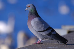 Rock pigeon. Staring at river with white swans in background Stock Images