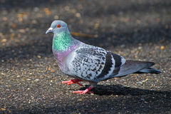 Free Rock Pigeon Stock Images - 29489944