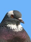 Rock pigeon. A portrait of a rock pigeon against blue sky Royalty Free Stock Photography
