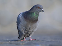 Rock pigeon. Posing on pavement Stock Image