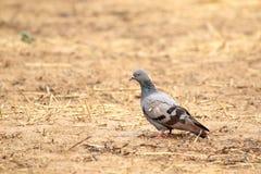Rock pigeon Royalty Free Stock Photos