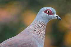 Rock Pigeon Bird Royalty Free Stock Images