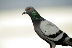 Rock Pigeon. Blue rock pigeon on my terrace stock image
