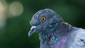 Rock Pigeon Close-Up (16:9 Aspect Ratio) Royalty Free Stock Photography