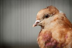 Rock Pigeon Close-Up Royalty Free Stock Photo