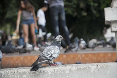 Rock pigeon Royalty Free Stock Images