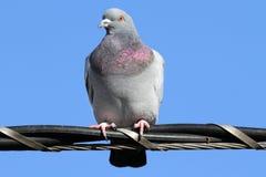 Rock Pigeon (Columba livia) Stock Photography