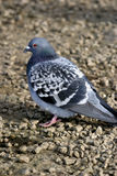 Rock Pigeon (Columba livia). The Rock Pigeon has a restricted natural resident range in western and southern Europe, North Africa, and into southwest Asia Stock Image