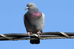 Rock Pigeon (Columba livia) Royalty Free Stock Photography
